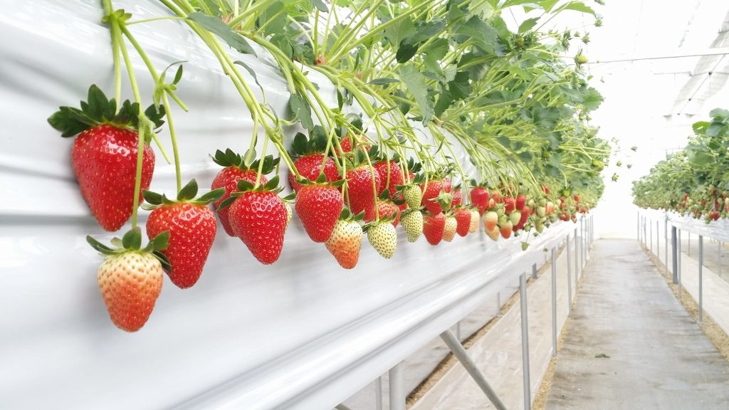 Les délicieuses fraise...