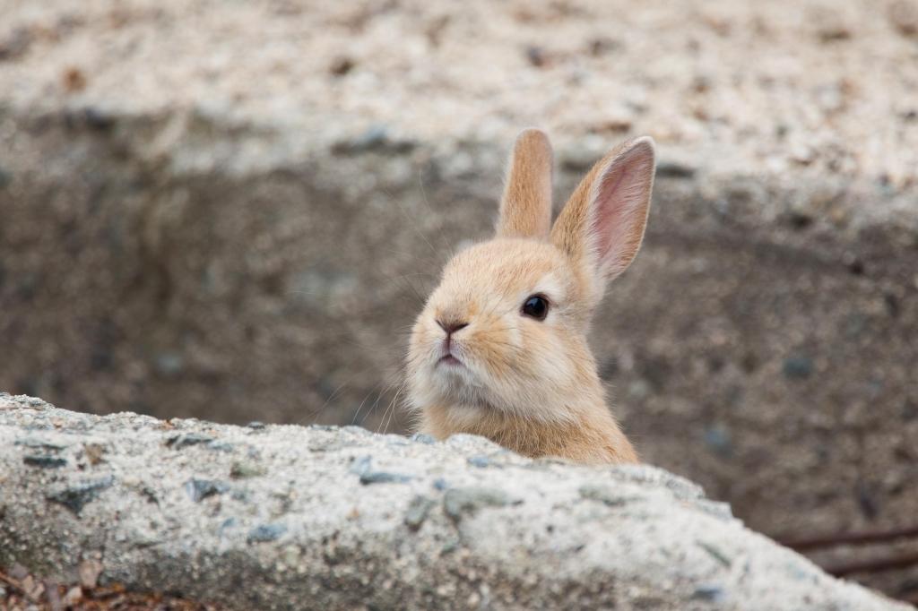 Okunoshima l'île des lapins