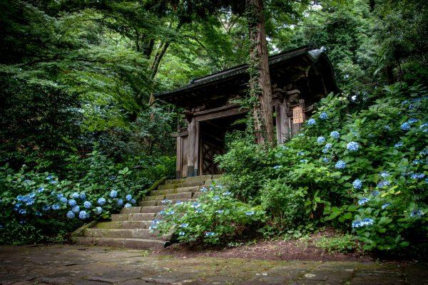 Temple Gessho-ji Matsue Shimane Japon tourisme hors des sentiers battus hortensias tortue