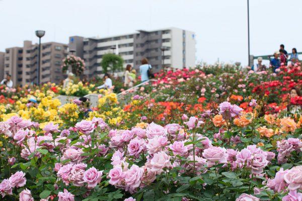 roseraie parc roses promenade fukuyama hiroshima Japon
