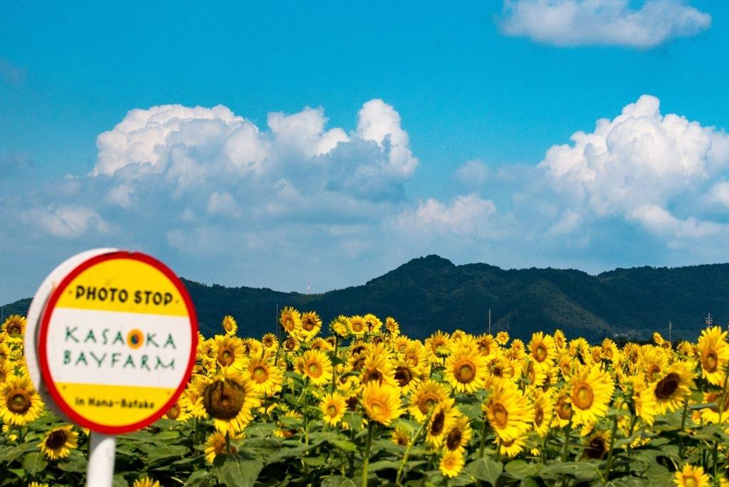 baie kasaoka okayama Japon champ de fleur montagne nature tournesols cosmos voyage détente découverte soleil