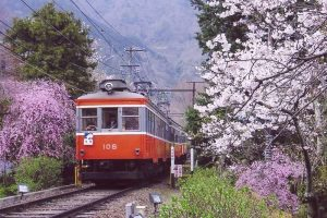 Sakura : les cerisiers de Hakone